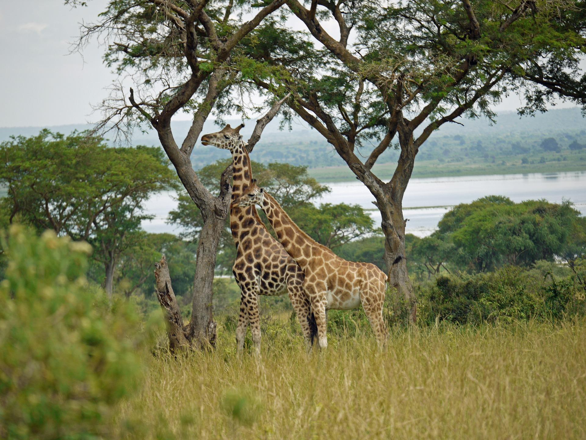 rothschild-giraffes-1416574_1920