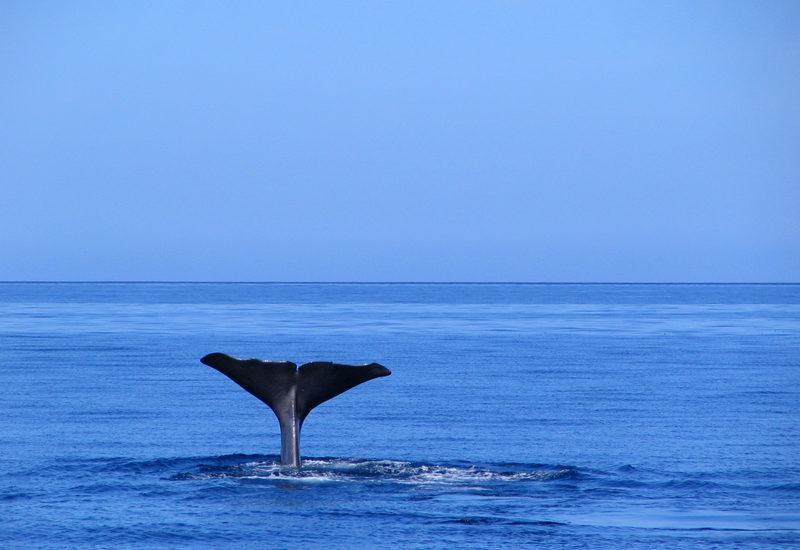 azory-obserwacja-wielorybow-fot-norberto-diver